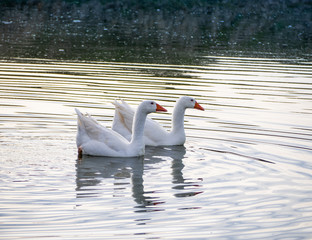 Family of two geese swimming together in a lake