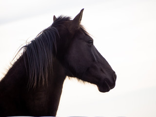 Portrait of a brown spanish horse isolated with white background