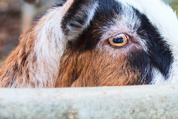 Close up Eyes of Goats in farm. Selective focus