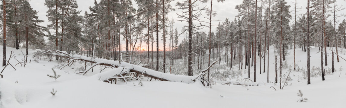 Two Fallen trees in the winter forest
