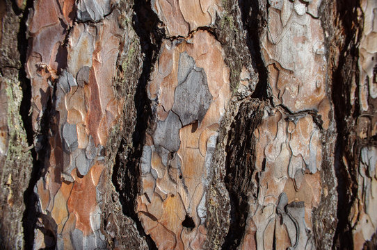 The surface texture of the natural bark of pine trees, background.
