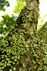 Small-leaved plants growing on a tree trunk, Kyoto, Japan