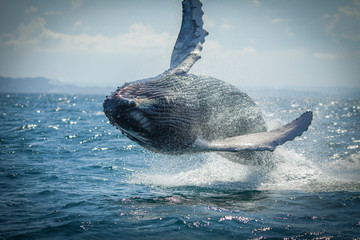 The humpback whale photographed in the waters of Samana peninsula, Dominican Republic Wall mural