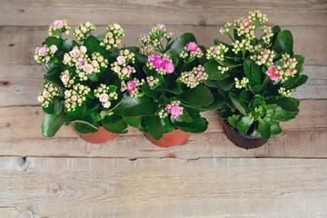 Three shades of pink Kalanchoe flowers on a wooden background.