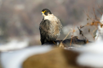 A female Peregrine Falcon perches on a branch along the Palisades Cliffs above the Hudson River in State Line Lookout Park in Alpine