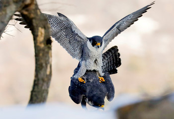 A pair of Peregrine Falcons mate along the Palisades Cliffs above the Hudson River in State Line Lookout Park in Alpine