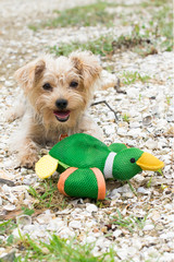 playing cute Yorkshire Terrier dog