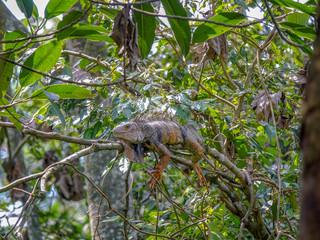 Iguana resting in a tree
