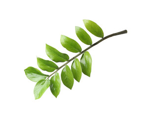 Tropical zamioculcas plant branch with leaves isolated on white