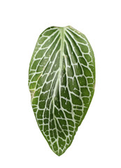 Leaf of tropical fittonia plant on white background