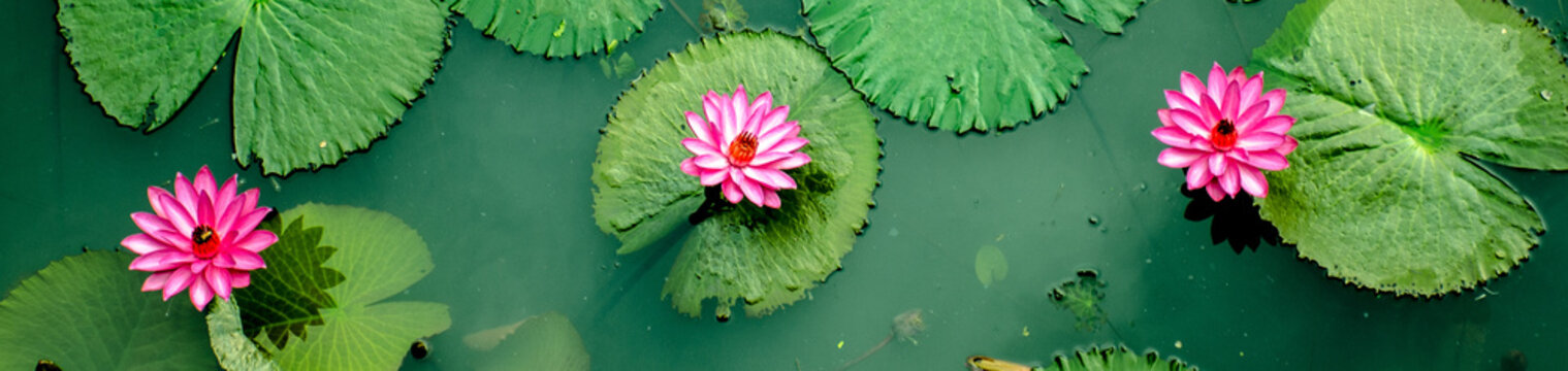 Three Pink water Lillys from top view