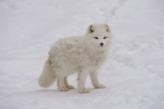 Arctic fox pausing for the camera
