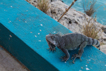 Green iguana on the tropical island of Bonaire in the caribbean