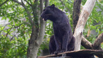 Foto auf Leinwand Panther Black leopard lying and calm looking around.