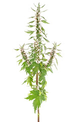 Motherwort plant over white background, close up. Medicinal plant.