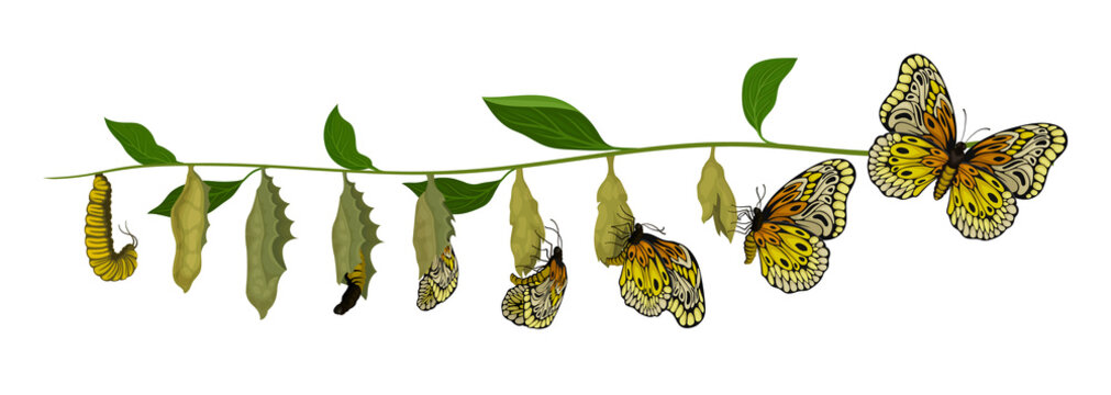 Life cycle of butterfly from larva to adult insect. Flying creature. Entomology theme. Flat vector design