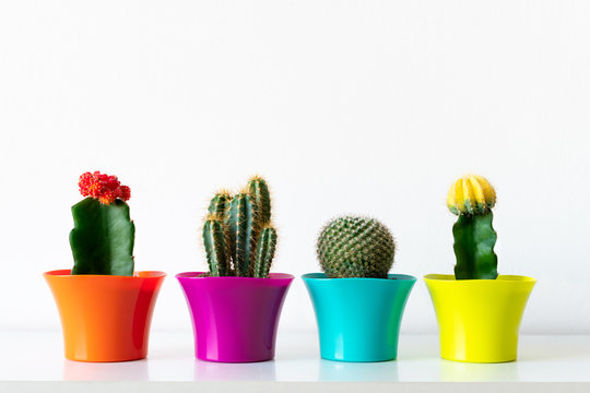 Various flowering cactus plants in colorful flower pots against white wall. House plants in a row on white shelf.