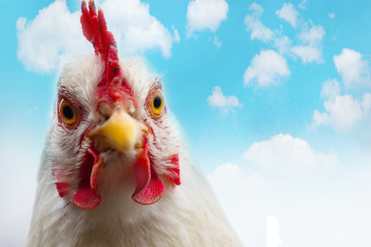 Domestic white hen with red comb at farm. Close up of head chicken or rooster on blue sky background. Space for text