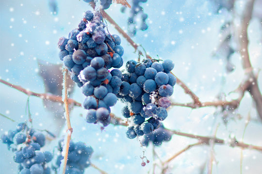 Freez bunch of grapes at winter