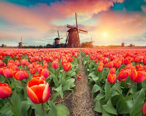 In de dag Zalm Dramatic spring scene on the tulip farm. Colorful sunset in Netherlands, Europe.