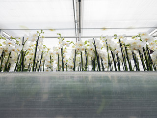 many white orchids in large dutch greenhouse