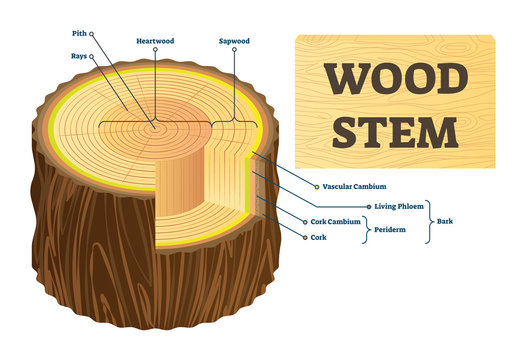 Wood stem vector illustration. Educational labeled tree rings structure.