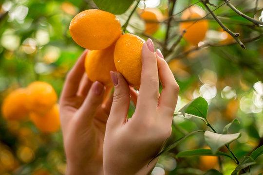 Lots of lemons, lemons close-up, background, lemons in hand, garden with lemons