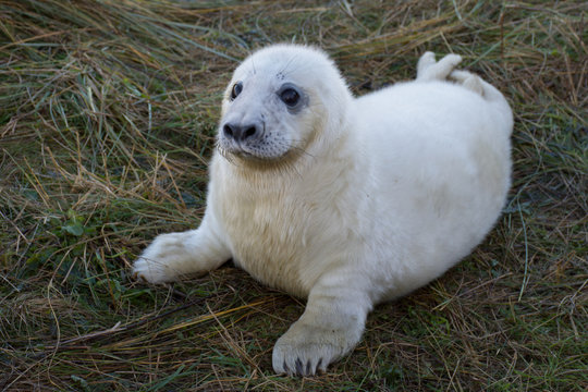 Newborn seal pup