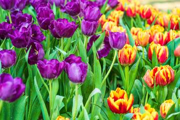 purple tulips in the garden