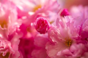 Foto auf Acrylglas Rosa Lovey Cherry blossom. Sacura cherry-tree. Japanese cherry. Prunus serrulata close up.