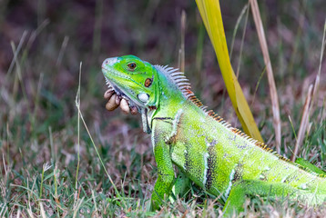 Saint Vincent and the Grenadines, young iguana with ticks