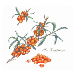 Hand drawn sea buckthorn branch. Colorful illustration. Healing tea and medical edible berry. Food ingredient, cooking, beauty. For cosmetic package design, medicinal herb, treating