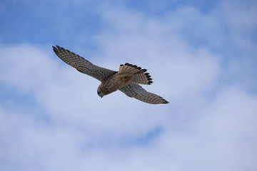 A wild buzzard is high up in the air looking for a prey on the coast of Paphos - Cyprus