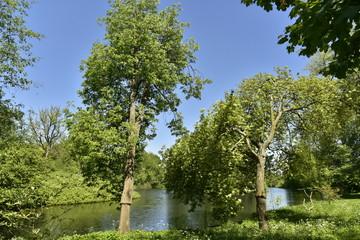 Les deux arbres penchants au bord de l'eau dans la zone sauvage du domaine provincial du Rivierenhof à Anvers