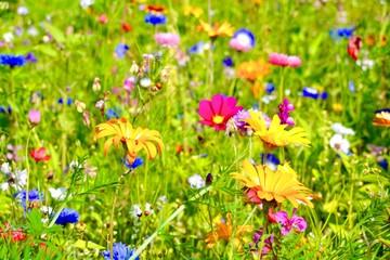 Wall Mural - Blumenwiese Hintergrund - Sommerblumen Wiese bunt