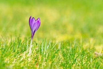 Purple crocus flower on a green lawn