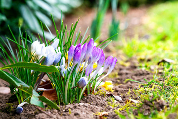 Colorful crocus flowers blooming in a flowerbed