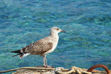 Sea gull on the coast, turquoise sea in background