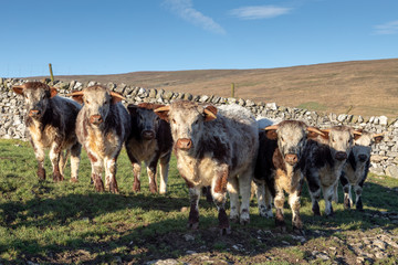 yorkshire dales cows