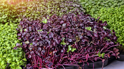 healthy microgreens sprouts background