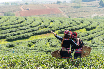 Farmer picking tea leave in the terraced tea fields. two woman collecting some green tea leaf.Tea is traditional drink in some country at asia as japan, Thailand, vietnam, china, korea.