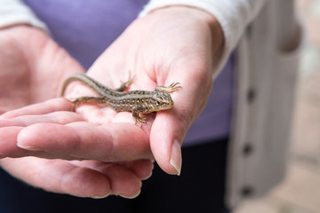 Sand lizard on the human hand
