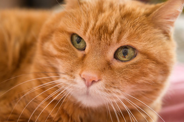 Adorable red cat. Selective focus.
