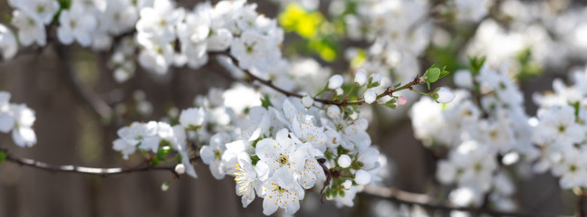 Spring flowers  on branches of a plum tree.