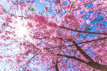 Kirschbaum mit Kirschblüte, Zierkirsche zum Frühlingsanfang