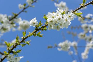 Weiße Kirschblüte, Kirschbaum