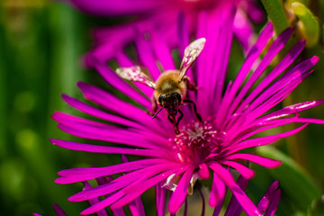 Nahaufnahme einer Biene beim Pollen sammeln auf einer pinkfarbenen Mittagsblume