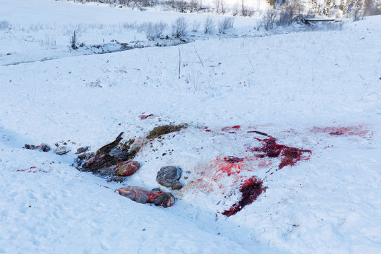 guts and blood of disembowelled deer or boar on snow in winter in austria, possible poacher or hunter