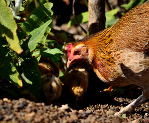 Hen and chicks between the plants and looking for seeds and insects to eat