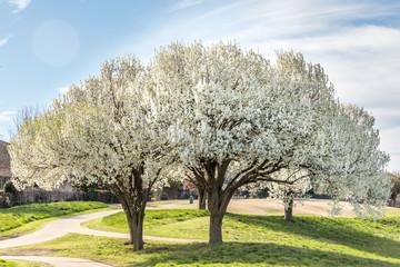 Blooming Bradford pear trees in Texas
